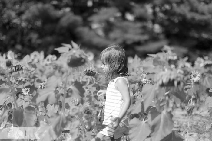 feather + light photography | mainline child photographer | field of sunflowers | walking on sunshine